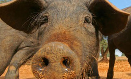 La recessió econòmica impedeix matar el porc a garrotades i mata els dos de fam.